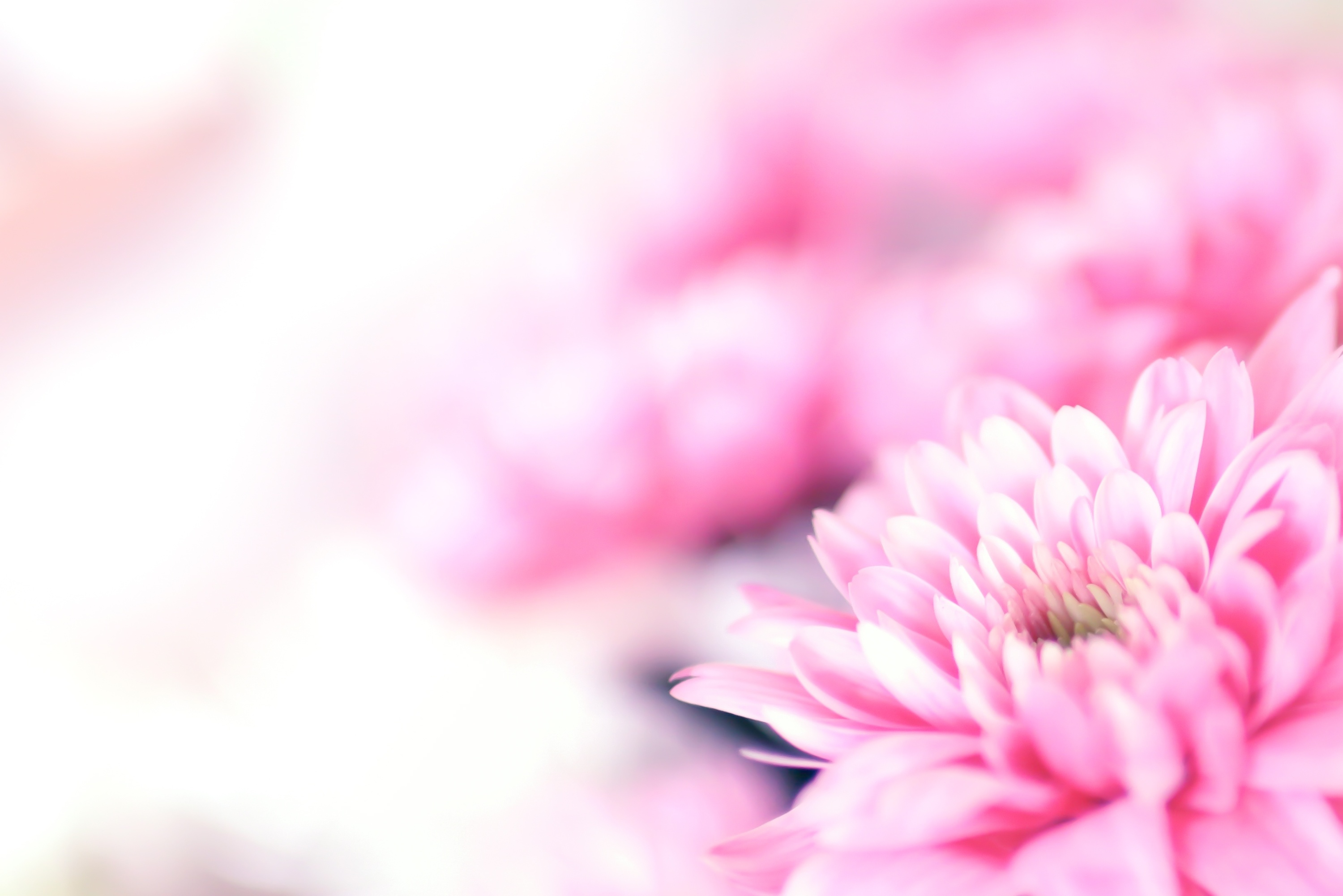 pretty pink chrysantum flower background websites with a heart